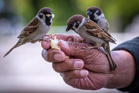 Control de plagas de gorriones