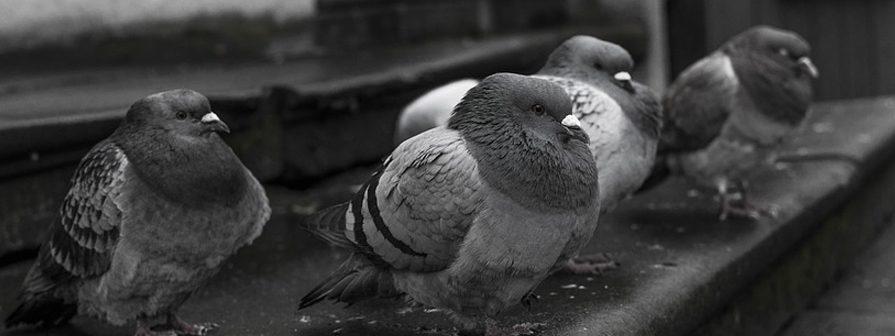 Excremento de palomas