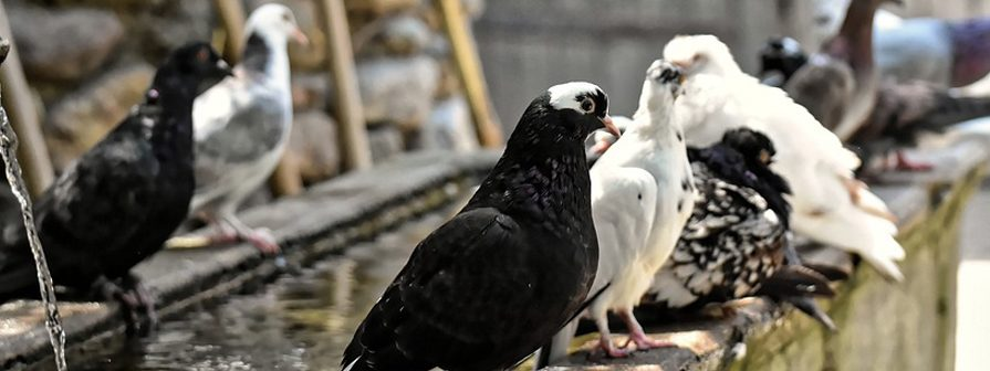 Control de palomas en Madrid y Toledo
